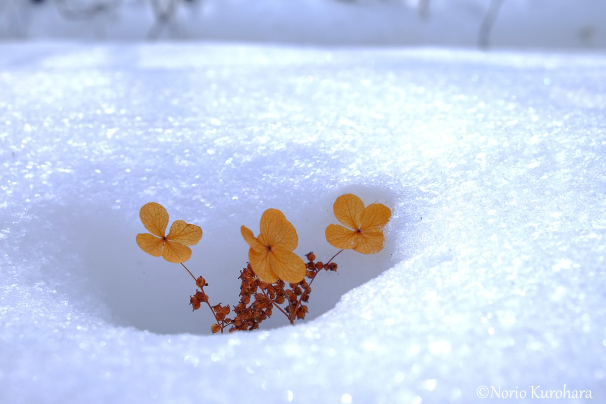 冬 アジサイ 世界 初